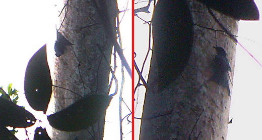 Greater Racket-tailed Drongo following woodpeckers