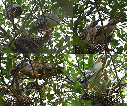 Nesting of Little Heron
