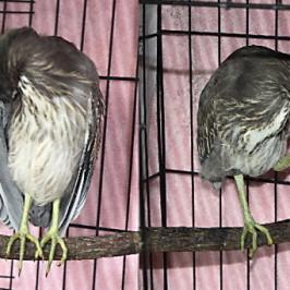 Little Heron chick: 9. Feather maintenance