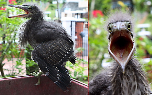 Little Heron chick: 6. Reaction to threat