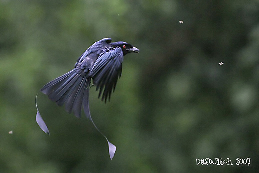 Drongo taking insects on the wing