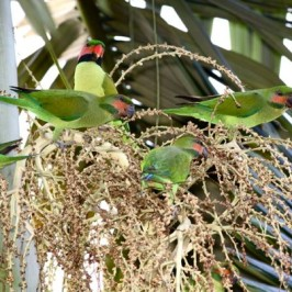 Long-tailed Parakeets eating palm flowers