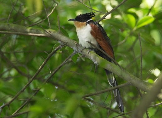 Chance encounter with Chestnut-winged Cuckoo