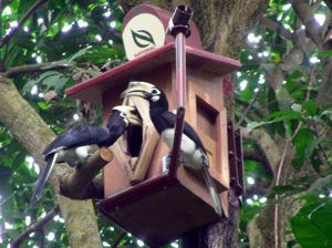 Artificial nesting cavities for hornbills