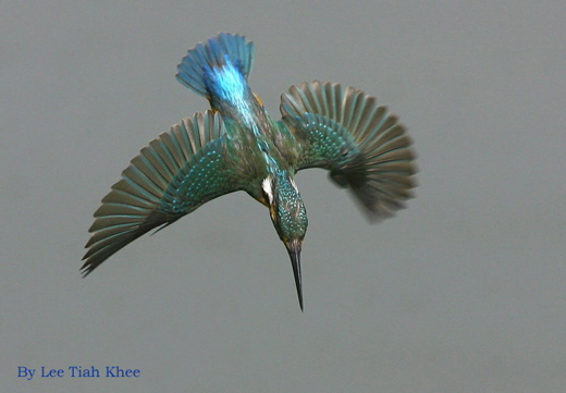 Common Kingfisher diving for fish