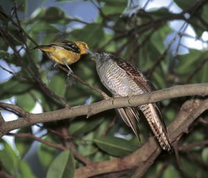 Nest parasitism: Banded Bay and Indian Cuckoos
