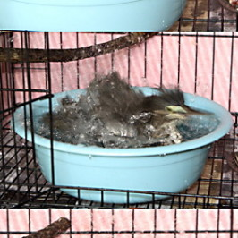 Little Heron chick: 10. Bath time
