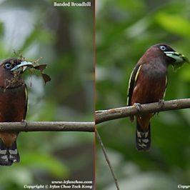 Banded Broadbill: nesting materials
