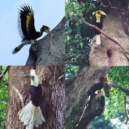 Thailand's hornbills