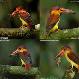 Food of the Oriental Dwarf Kingfisher