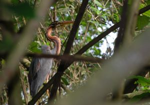 Injured Purple Heron: Update