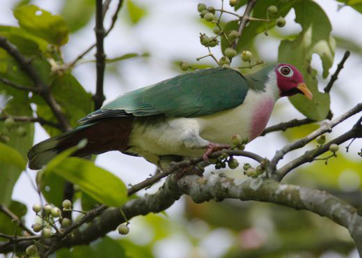 Arrival of the Jambu Fruit Dove