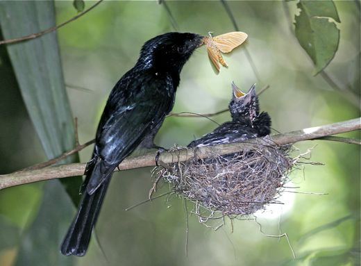 Nests of Greater and Lesser Racquet-tailed Drongos