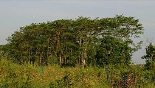 Save our albizia trees