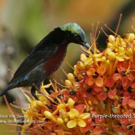 Saraca and sunbirds