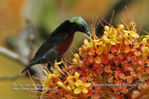 Saraca and sunbirds