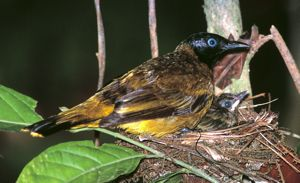 Eye colour in bulbuls