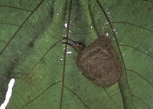 Nests of spiderhunters