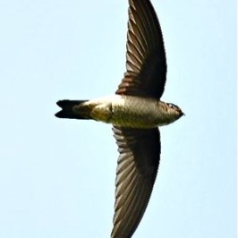 Himalayan Swiftlet: 1. Sighting