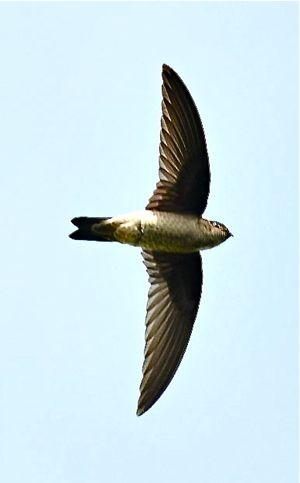 Himalayan Swiftlet: 1. Sighting