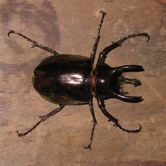 beetle-pilai.jpg