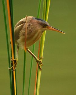 Secret life of the Yellow Bittern