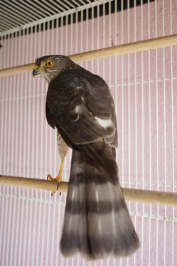A sparrowhawk crash-landed in Hougang