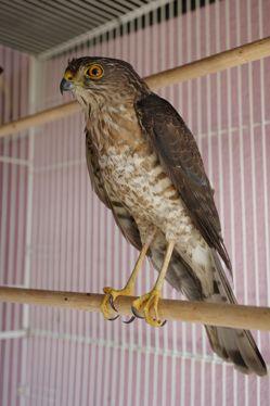 A sparrowhawk crash-landed in Hougang