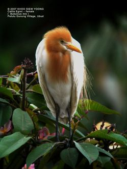 Birding in Bali: 1. White herons of Petulu