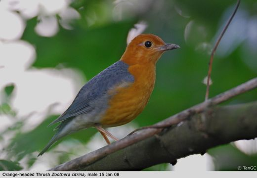 Orange-headed Thrush: Observations on a rare winter visitor