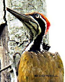 image-7-greater-flameback-side-view-male.jpg