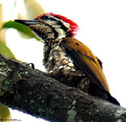 image-8-common-flameback-side-view-male.jpg