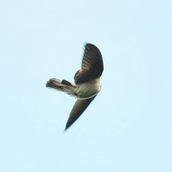 swallows-scratch-kctsang-2.jpg