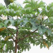 1-cecropia-peltata-cr-0105-1.jpg
