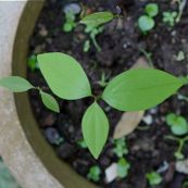 1-cinnamomum-iners-sdl-0506-5.jpg