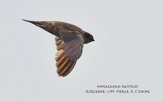 Himalayan Swiftlet: 3. At long last, action…