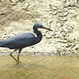 Pacific Reef Egret foraging along a canal