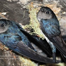 Glossy Swiftlets at Fraser's Hill, Malaysia