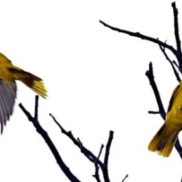 Black-naped Oriole: Courtship
