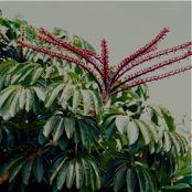 2-schefflera-actinophylla-pt-inflo-kauai-0800.jpg
