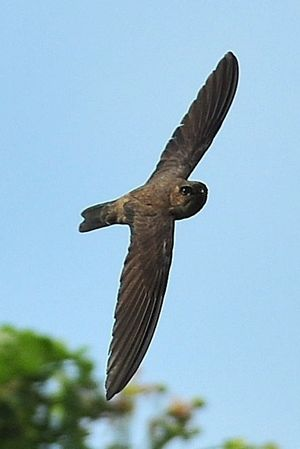Himalayan Swiftlet: 2. An ornithologist's perspective