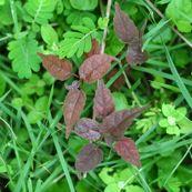 6-macaranga-seedling-0206-1.jpg