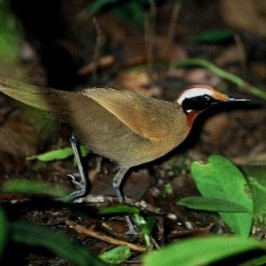 Rail-babbler: In search of a family