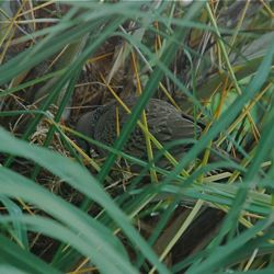 Nesting of Spotted Dove