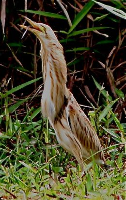 Yellow Bittern eats skink