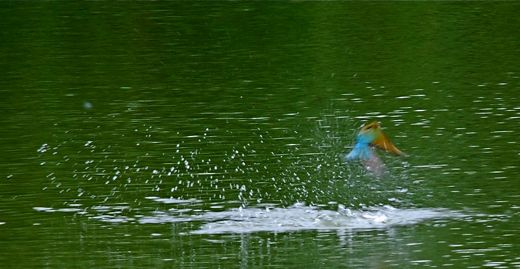 Blue Tailed Bee Eater Singapore The Blue-tailed Bee-eater is a