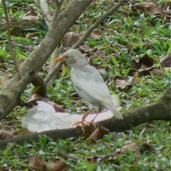 Albino Javan Myna accepted by others of the species
