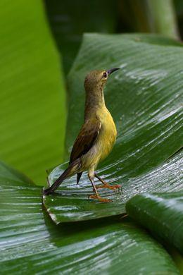 Mass leaf bathing of sunbirds