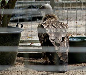Himalayan Griffon captured and displayed