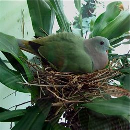 Pink-necked Green Pigeon: Nesting in an urban garden